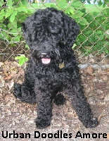 Welcome To Dragonram Labradoodles Of Ottawa On