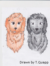 labradoodle-dogs