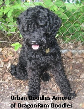 Amore-Labradoodle