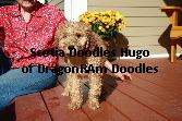 Hugo-Labradoodle